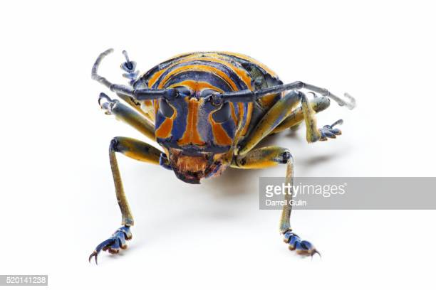 head on view of long horned beetle sternotomis bohndorfi pulch - horned beetle stock pictures, royalty-free photos & images