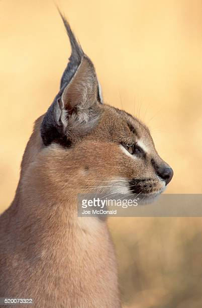 Head Profile of a Caracal Cat