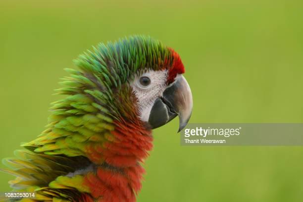 Head shot Beautiful macaw, Lovely Colorful Macaw bird.