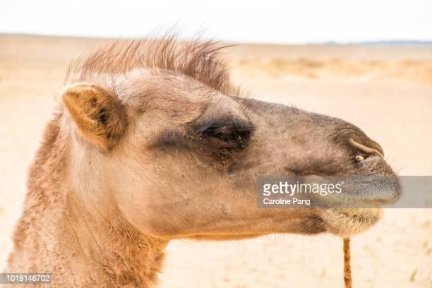 Head shot of a Bactrian camel at the Gobi desert in Mongolia.