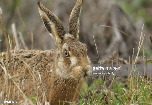 a head shot of a beautiful brown hare, lepus europaeus, in a field in the uk. - animals in the wild stock pictures, royalty-free photos & images