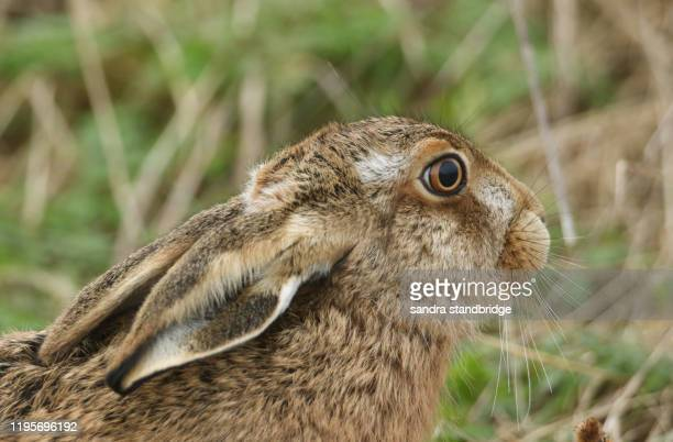 a head shot of a beautiful brown hare, lepus europaeus, in a field in the uk. - brown hare stock pictures, royalty-free photos & images