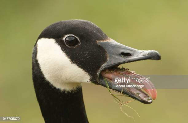 a head shot of a canada goose (branta canadensis) with its beak open and its tongue sticking out. - one animal stock pictures, royalty-free photos & images