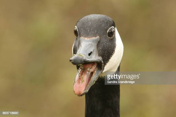 a head shot of a canada goose (branta canadensis) with its beak open and its tongue sticking out. - goose stock pictures, royalty-free photos & images