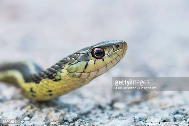 Head shot of a common garter snake (Thamnophis sirtalis)