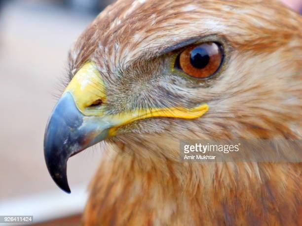head shot (close up) of a eagle - amir mukhtar stock photos and pictures
