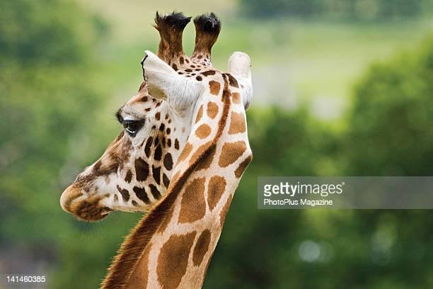Head shot of a giraffe in an English safari park taken on June 25 2008
