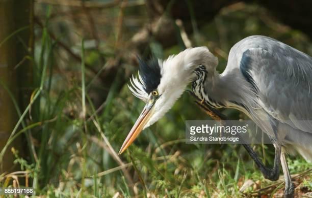 A Head shot of a Grey Heron (Ardea cinerea) having a scratch.