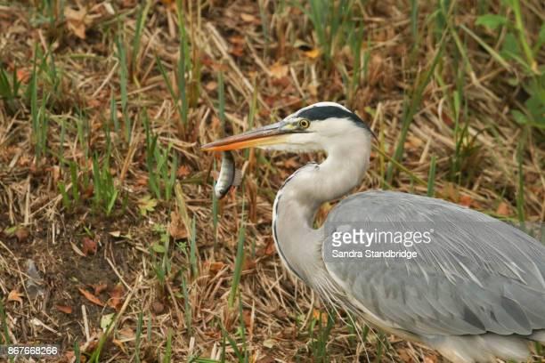 A Head shot of a Grey Heron (Ardea cinerea) on the bank of a lake eating a Perch.