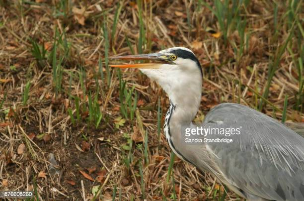 A head shot of a Grey Heron (Ardea cinerea) standing on the bank of a lake with its tongue showing. It has just eaten a fish.
