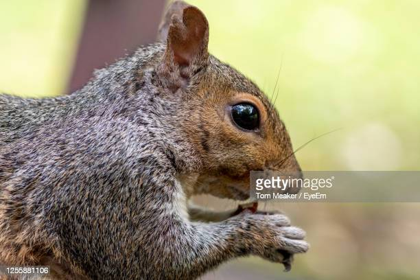 head shot of a grey squirrel eating a nut - taunton somerset stock pictures, royalty-free photos & images