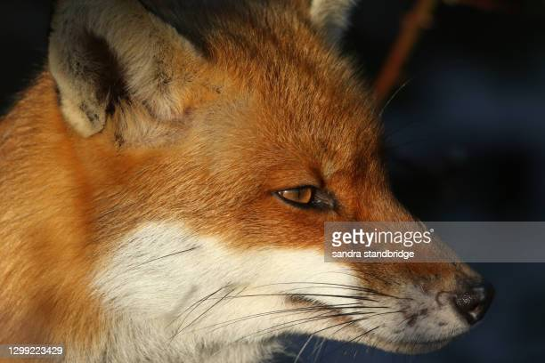a head shot of a magnificent hunting red fox, vulpes vulpes,. - animal eye stock pictures, royalty-free photos & images