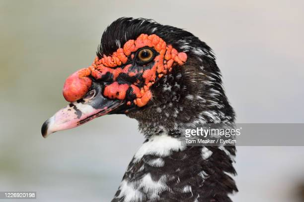 head shot of a muscovy duck - taunton somerset stock pictures, royalty-free photos & images
