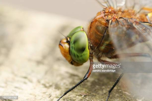 a head shot of a norfolk hawker dragonfly, anaciaeschna isoceles, perching on a post. - wildlife stock pictures, royalty-free photos & images