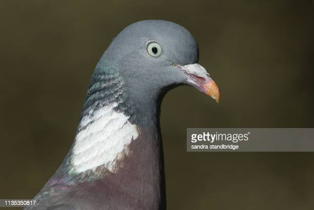 a head shot of a pretty woodpidgeon, columba palumbus. - pigeon stock pictures, royalty-free photos & images