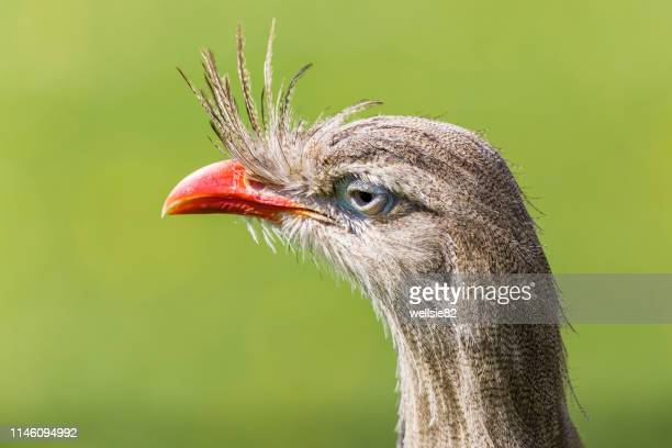 head shot of a red-legged seriema - spalding england stock photos and pictures