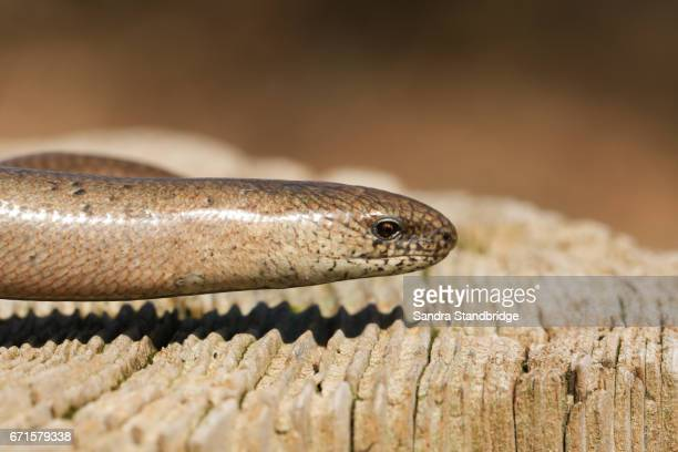 A head shot of a Slow-worm (Anguis fragilis) warming itself in the sun.