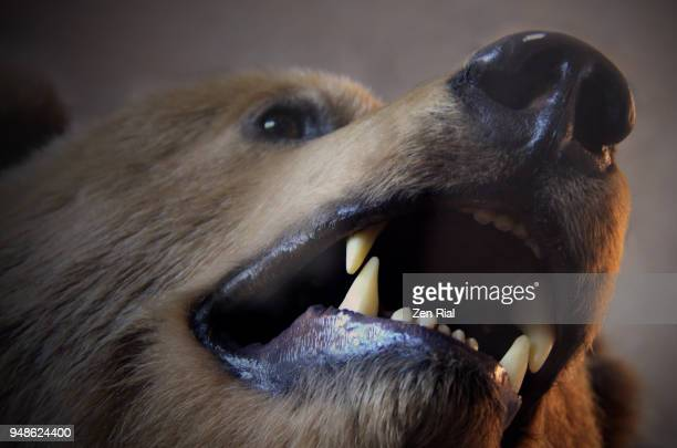 Head shot of a stuffed grizzly bear showing open mouth with sharp canines