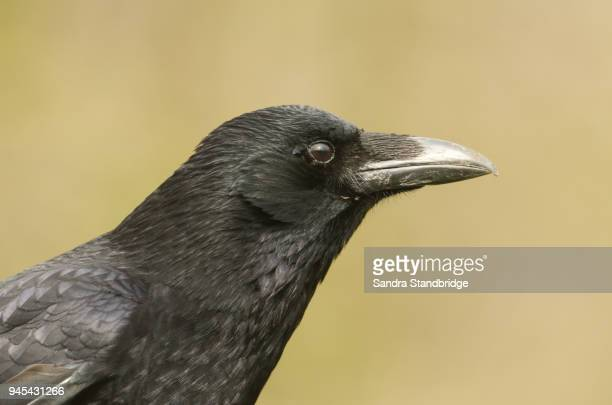 a head shot of a stunning carrion crow (corvus corone). - dead crow stock pictures, royalty-free photos & images