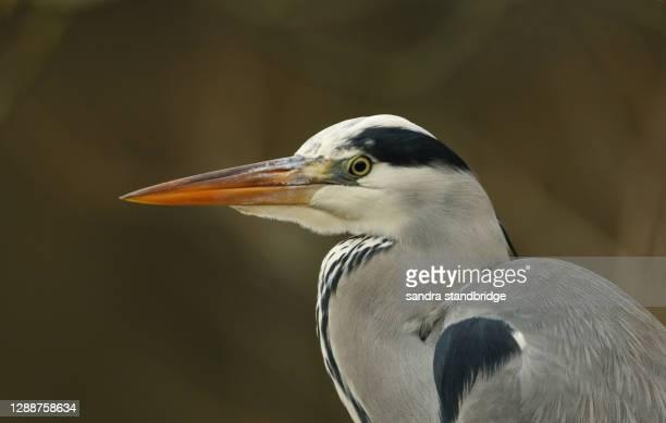a head shot of a stunning grey heron (ardea cinerea) hunting for food along the bank of a river. - bico - fotografias e filmes do acervo