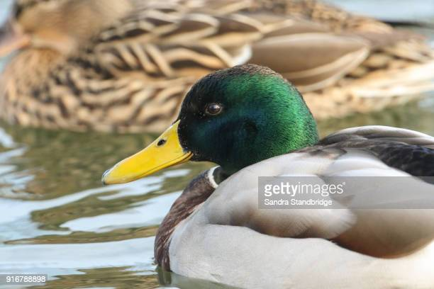 a head shot of  a stunning mallard duck (anas platyrhynchos) swimming in a river. - drake stock pictures, royalty-free photos & images