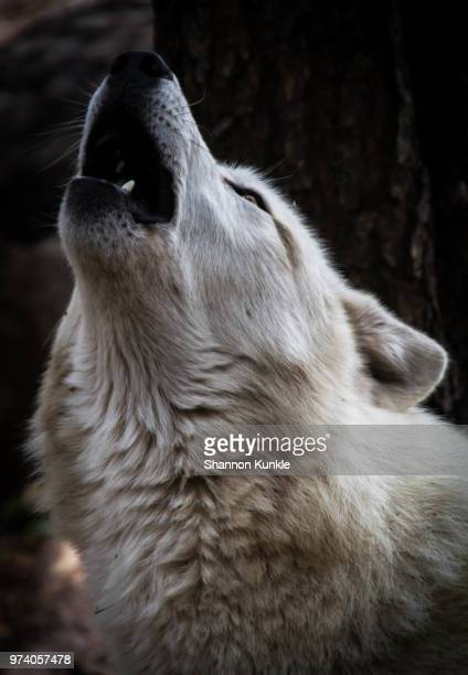Head shot of howling white wolf (canis lupus)