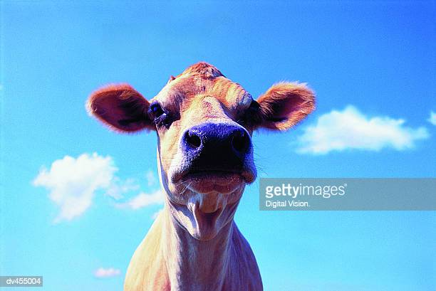 Head Shot of Jersey Cow