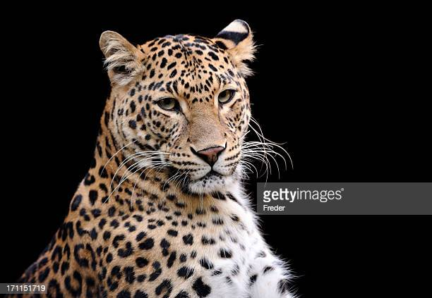 Head shot of leopard against black background