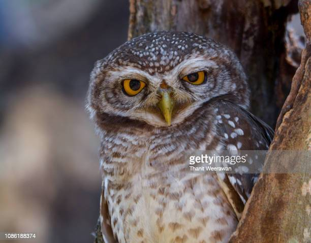 Head shot of  Spotted owlet, Athene brama