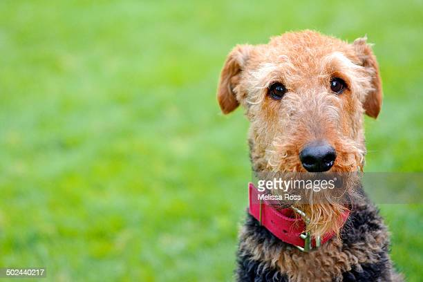 Head shot portrait of Airedale Terrier dog