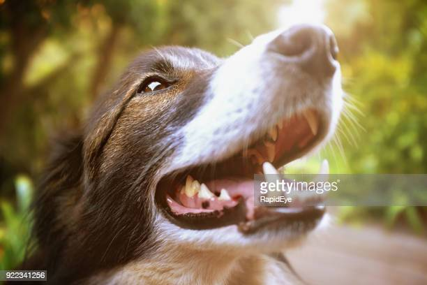head-and shoulders portrait of border collie - teeth stock pictures, royalty-free photos & images