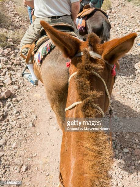 heading up a trail with a mule - mexican riding donkey stock photos and pictures