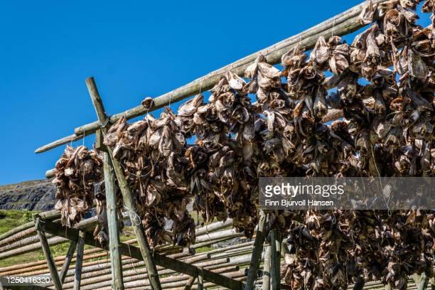 heads of cod hanging on a rack for drying in lofoten norway - finn bjurvoll fotografías e imágenes de stock