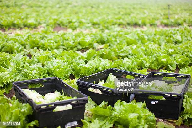 Heads of lettuce on field