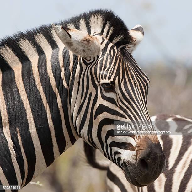 Headshot Burchell's zebra (Equus quagga burchellii)