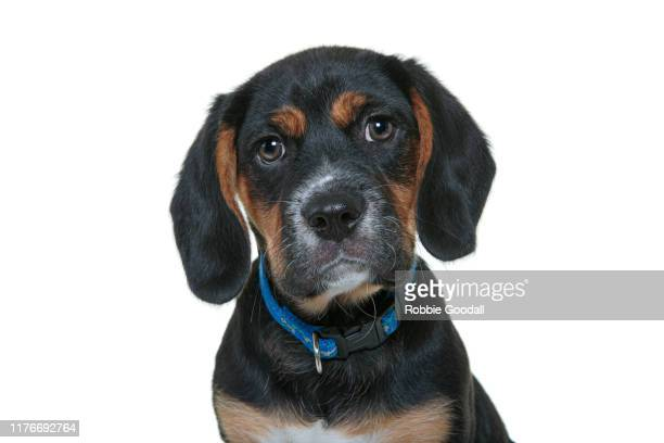 headshot of a beagle x cavalier king charles spaniel puppy looking at the camera on a white backdrop. - cavalier king charles spaniel stock pictures, royalty-free photos & images