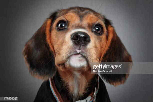 headshot of a beaglier puppy looking at the camera on a gray backdrop. the beaglier is a cross between a beagle and cavalier charles spaniel. - cavalier king charles spaniel stock pictures, royalty-free photos & images