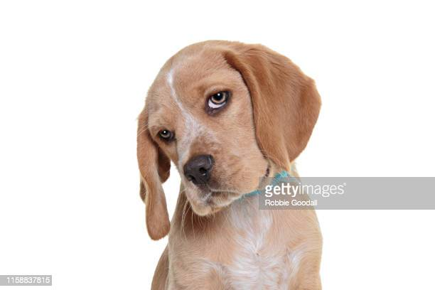 headshot of a beaglier puppy looking at the camera on a white backdrop. the beaglier is a cross between a beagle and cavalier charles spaniel. - cocker spaniel stock pictures, royalty-free photos & images