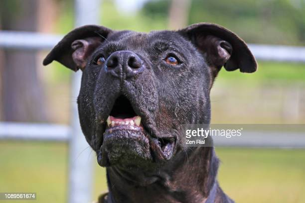 Headshot of a black dog front view with head tilted up and mouth open
