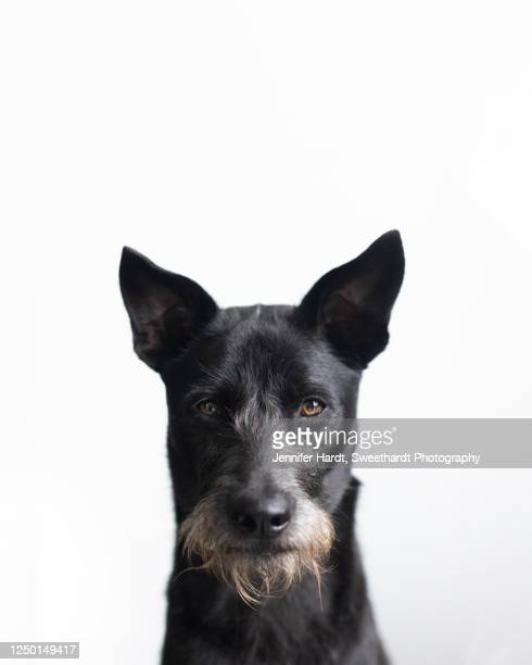 headshot of a black formosan mountain dog schnauzer mix staring directly at camera - mixed breed dog stock pictures, royalty-free photos & images