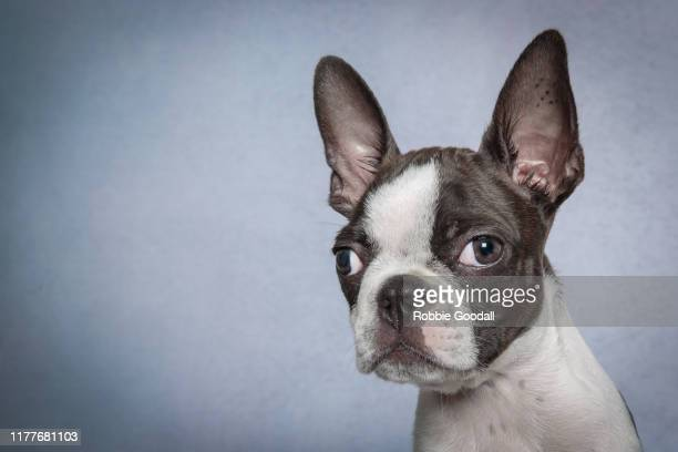 headshot of a boston terrier puppy looking at the camera on blue backdrop - boston terrier stock pictures, royalty-free photos & images