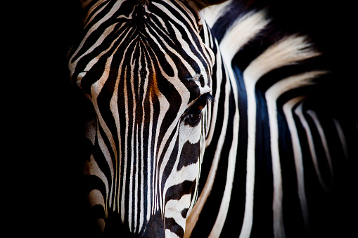 Headshot of a Burchell's Zebra 502561637