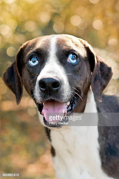 headshot of a catahoula - catahoula leopard dog stock pictures, royalty-free photos & images