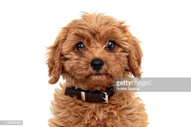 King Poodle Getty Images