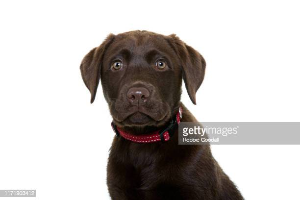 headshot of a chocolate brown labrador retriever puppy looking at the camera on a white backdrop - chocolate labrador stock pictures, royalty-free photos & images