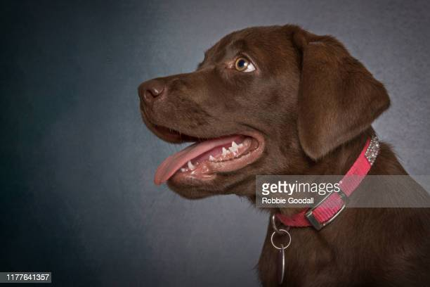 headshot of a chocolate brown labrador retriever puppy looking away from the camera on a gray background. - collar stock pictures, royalty-free photos & images