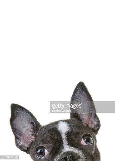 headshot of a french bulldog puppy looking at the camera on a white backdrop - animaux domestiques photos et images de collection
