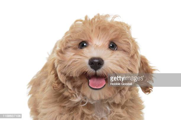 headshot of a gold coloured cavalier king charles spaniel/poodle mix puppy looking at the camera sitting in front of a white backdrop - young hairy pics stock photos and pictures