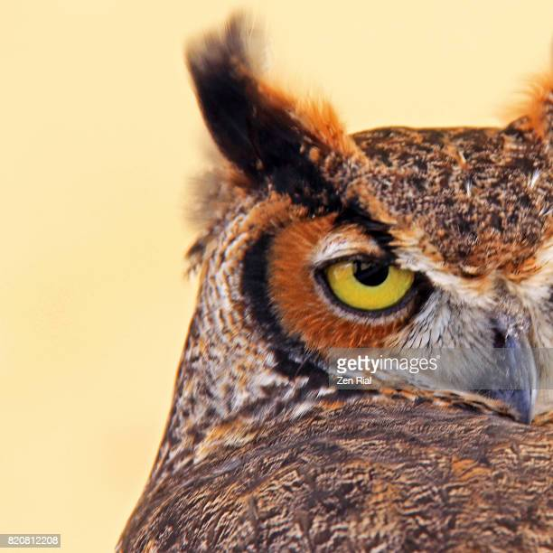 headshot of a great horned owl (bubo virginianus) also called tiger owl - great horned owl stock pictures, royalty-free photos & images