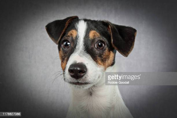 headshot of a jack russell terrier puppy looking at the camera on a gray background - jack russell terrier foto e immagini stock